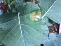 ブロッコリーの葉っぱの病気だと思うのですが これは何でしょうか?  葉を元から切れば大丈夫ですか?
