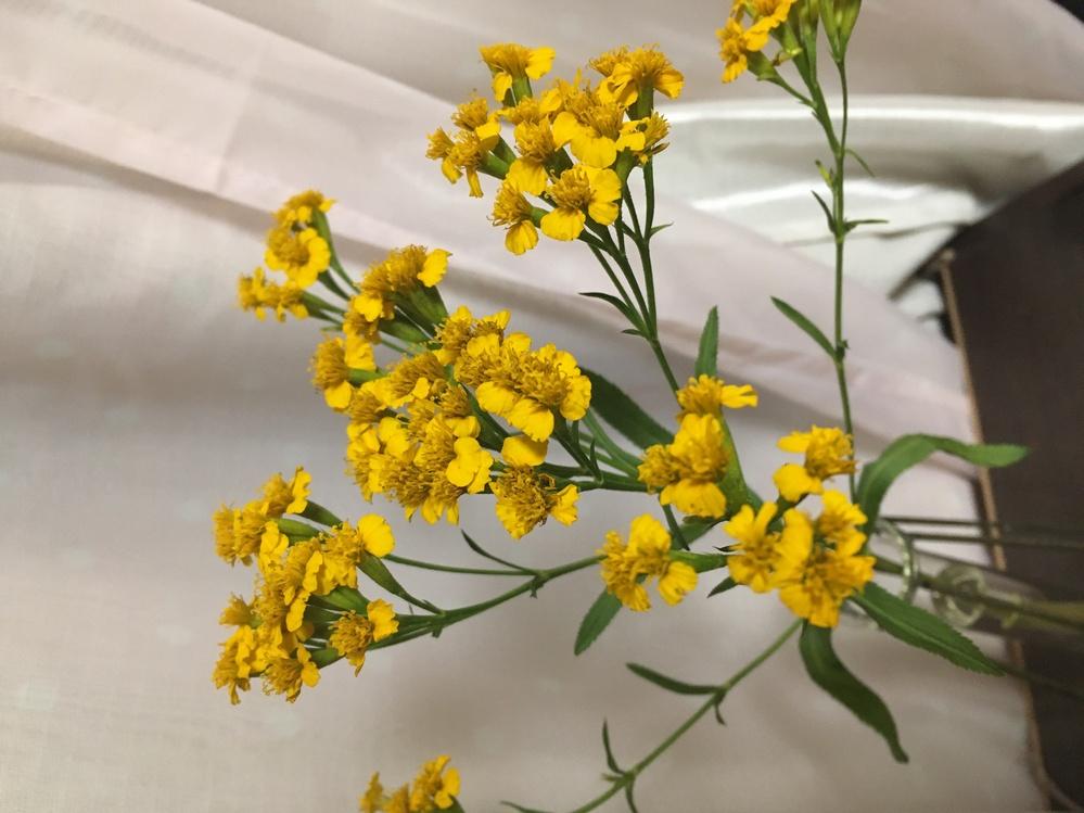 質問失礼します。先日青山フラワーマーケットさんにて購入しました。 黄色くて小さいお花なのですがとても甘くて部屋中いい香りがします。 なんというお花ですか?またドライフラワーになりますでしょうか。
