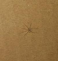 閲覧注意 この蜘蛛なんでしょうか?【お礼100枚】  ダンボールを整理してしたら中から二、三匹ほどこの蜘蛛がいました。 あまり虫が得意ではなく紙に渡ってもらって外に出すようにしたのですが(蜘蛛は益虫と聞...
