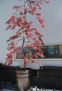 鉢植え枝垂れ紅葉です。 園芸店から購入してちょうど1年が経ちました。購入当初はお店で地植えされており、自分で鉢を買い植えました。画像のように綺麗に紅葉もしました。質問ですが、根元を見ると、長い根が2本...