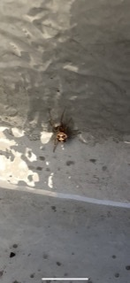 この蜘蛛はセアカゴケグモのオスでしょうか?  家のベランダを掃除していたらでてきました。  検索したらオスは毒はないと見ましたが 近くに毒の持ったメスがいるのではと、  小さい子供と小学生がいるので不...