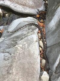 この蛇の名前を教えてください。 川で見かけました。