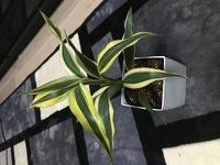 この観葉植物の名前を教えて下さい!