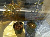 ブルーベリーの苗の状態ですが良い状態ですか? 3年生苗を購入して10号鉢に植えました。