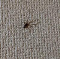 この蜘蛛はアシダカグモでしょうか?イエユウレイ蜘蛛でしょうか?  夜中に壁に張りついていました。 アシダカグモなら是非同居人として共存していきたいのですが‥。