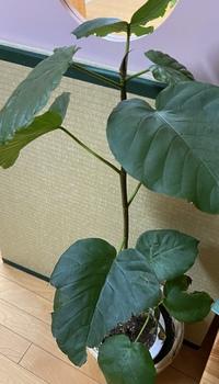 この観葉植物に詳しい方で、この種類をご存じの方いらっしゃいませんか??