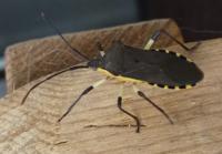 虫です。閲覧注意です 虫に詳しい方にお聞きしたいのですが、こんな虫がいました。見たことがない虫で戸惑っているのですがカメムシの仲間でしょうか? また、害があるかないかも教えて頂きたいです。