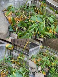 引っ越し先の庭に写真の植物が植えてあったのですが、この植物は何という植物でしょうか? また、我々が越してくる前は元気だったようですが、最近写真のように黄色くなってきてしまいました。 この原因は何でし...