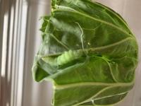 ①この幼虫は何か分かりますか。 キャベツやカリフラワーを食べていましたが白い膜をはり動かなくなりました。 ②ヨトウガの幼虫もいるのですが、 ヨトウガは、これから土が必要でしょうか?土に入りますか?  ...