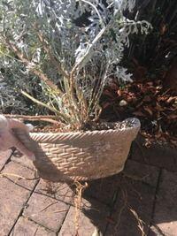 このシロタエギク下から根っこが出てますしこの時期地面におろすよりも春に移植した方が安全ですよね? 実家の寄せ植えの残がいですが、何とか二つくらいに株分けして庭に移植したいです。  時期とやり方教えて下さい。
