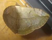 この虫はなんという種類でしょうか? ネムノキについていた、灰色の巨大なイモムシを飼育していました。 しかし、越冬せずに羽化してしまったようで、そのまま死んでしまったものです。  残念な結果ではあります...