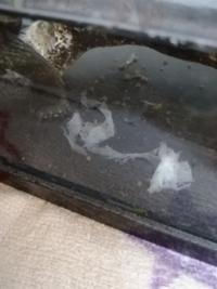クサガメの水槽にこのようなものが沈んでいました。 皮かなと思ったのですが、カメ自信に剥けた後はありませんでした。  なにかの病気でしょうか…