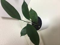この観葉植物の名前がわかる方いらっしゃいますか? 100均で購入した時は観葉植物としか表記されておらず種類が分かりません。