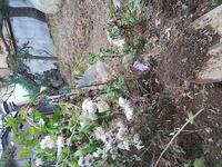 大菊とスプレーです。冬至芽が出ている物、出てきてないもの、根元近くまで切り戻した方が良いのでしょうか?