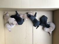 雪甲斐犬について 11月8日に子犬が7匹産まれました、父親は10歳の赤虎、母親は2歳の中虎。 7匹の内4匹が雪甲斐犬みたいです、たまに白いのが産まれる事もあると聞きますが4/7はどういう事でしょう。