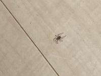 蜘蛛にしては足が多い  家内で見つけて蜘蛛だと思ったのですが、蜘蛛にしては足が多くないですか?  この虫の正体わかる方いませんか?