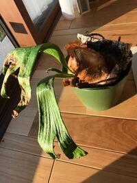 コウモリラン(ビカクシダ)が死にそうです、ここから再生する方法はありますでしょうか? 思い当たる点、 1. カイガラムシと小さいダニみたいな虫が沸いていたので高圧で水をかけて洗い流した。 2.化成肥料(野菜用)を10粒くらい与えた。  写真の状態になって2ヶ月位になります、ここから良くも悪くもなりません。なにかアドバイスあればよろしくお願い致します。
