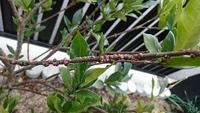 〜観葉植物の害虫について〜  お世話になります 庭木のクチナシの剪定中に、発見しました。 この害虫の種類と、駆除方法をお教え下さい。