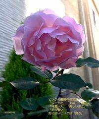 このバラの種類の分かる方、教えてください。