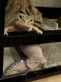 レオパの性別を教えてくださいm(*_ _)m 生後8ヶ月くらいのハイイエローのレオパです。太り気味なのですが……(´×ω×`) オスかメスか分かる方おしえてください!