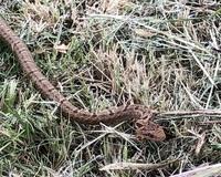 ヘビの見分けに関する質問です。  先日、公園の芝生の上で茶色いヘビを見つけました。 ネットで調べても、私の写真の撮り方が下手くそ過ぎて体の模様から判別しにくく… 体長はさほど太くも長くもなく幼体?体の色的にはマムシのような…でも黒目の形的にはアオダイショウの幼体…?  分からないので教えて頂ければ幸いです。