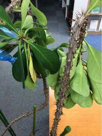 観葉植物(?)の名前についてお伺いします。 職場で長らく放置されている気の毒な鉢植えがあったので、見かねて私が世話をすることになったのですが、これは何という植物でしょうか?  特徴は、茎がトゲトゲ(マジで痛い)、小さな赤い花(?)をつけたような痕跡あり、乾燥に非常に強く、不要な茎を切断したところゴムの樹の樹液のような白い粘性の高い樹液が出てきました。  茎が間伸びしてしまっているので、取り木...