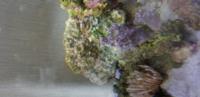 アクアリウム キッカサンゴを購入して1週間程です  白骨化が酷くなって来ました  水質には問題ないです ライトはリーフ90で60センチ水槽 エーハイム500と2217を併用 プロテインスキマーはかいどうだるまです  原...