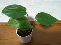 ダイソーで100円で観葉植物を購入しましたが、品種名が分かりません。高さは15~6cmです。 フィロデンドロンかモンステラだと思うのですが、なんという品種でしょうか?