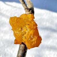 枯れ枝のオレンジ色のキノコの名前を教えて下さいませ。  コガネニカワタケでしょうか?