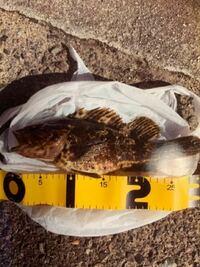 根魚釣りについて! この間、ブラクリで穴釣りしつたらかなり大きなカサゴ?が釣れたのですが、このサイズでは、名前変わったりしますかね??