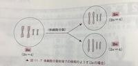 高校生物の細胞分裂について教えてください。 写真は体細胞分裂の図です。娘細胞が2n=4なのは分かるのですが、この写真での母細胞も2n=4なのが分かりません。この写真での母細胞はDNA複製が終わった後だから染色体の数は2倍になっていますよね?だから4n=8になると思ったのですが違いますか?  n...染色体の種類 nの係数...種類ごとの染色体がそれぞれいくつあるか と習いました