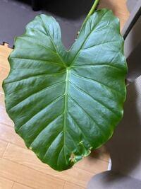 クワズイモを買ってきました。 葉が少しずつ穴が空いているのですが、切り落とした方がいいでしょうか、 アドバイスをお願いします