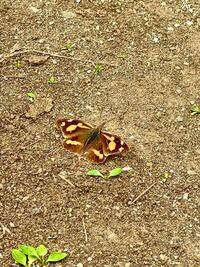 この蝶々の名前を教えてください。 夏に公園にいた蝶です