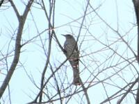 不鮮明ですが、鳥の名前を教えて下さい。ヒヨドリ?  撮影日 2021-01-02 撮影地 利根川河川敷