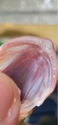 イッテンフエダイ クロホシフエダイ の見分け方を教えて下さい。  上顎の歯帯が伸びているか伸びていないかで判断できるとの事ですが、、、 これは伸びているのでしょうか?^^;