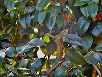 この鳥の名前を教えてください  郊外の少し山の方(標高250m辺り)で見つけました。 ムシクイ?の仲間なのかは分かりませんが、判別が難しいそうなので、誰か詳しい方教えてくださいm(_ _)m