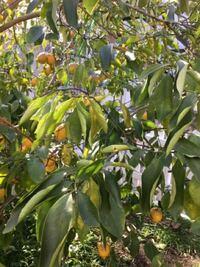 このところの寒さと強風で レモンの木と ゆずの木の調子が 悪そうなんですが 水不足なんでしょうか?葉っぱがまるまったりおちたりと 枯れてしまわないか心配です。 対処法を御指南ください。