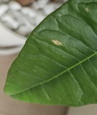 買ったばかりのパキラの葉の一部が変な色になってしまいました! 観葉植物に関して初心者です。 パキラは8号で、日当たりのいいリビングに置いてあり、水やりは土が乾いたのを確認して2日に1回ほどあげています!...