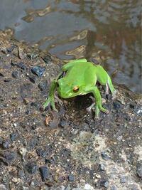このカエルはモリアオガエルでしょうか? それともシュレーゲルアオガエルでしょうか? 本州で撮影し、自分でも調べてみましたが目の色は個体差もあるらしく判断しきれませんでした。 詳しい方、回答よろしくお願いします。