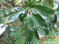 木の名前を教えてください、 岐阜県米田白山で、 撮影20210113