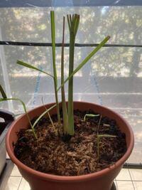 レモングラスが元気が無いみたいです。 以下の条件で育てているのですが、特に一番小さい苗(右奥)の葉の色が薄くなってきて心配です。  ・土:100均のの野菜の土(6割)と赤玉土(3割)植物性の堆肥(1割) ・窓際に小型ビニル陰湿(最近の最低温度は7-8度) ・日照時間は外と同じですが、生垣で少し影になって居る  といった具合なのですが、どうすればもっと元気になってくれるでしょうか? それとも寒...