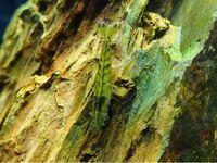 こちらのエビは、ヌカエビでしょうか? 採集は長野県中部です。