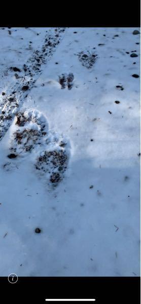 この画像のヒグマの足跡は、まだ新しい物でしょうか?