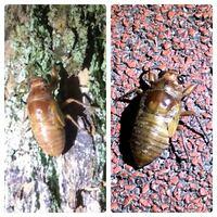 セミの種類 写真のセミの幼虫について 種類が分かる方、ご教示ください。  7月に福岡県で撮影したものです。 写真が2枚ありますが、それぞれ別個体です。