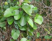このつる植物の名前教えて下さい。