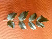 木の葉はなんて名前の植物ですか?我が家の庭にある 小さな木ですが、