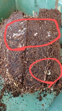 鉢植えの薔薇の植え替えをしたら根鉢の側面に 白い小さな卵のようなものが密集していました。  色々調べましたが、何かわかりませんでした。  ご存知の方がいらっしゃいましたら、教えて下さい。 宜しくお願いします。m(__)m