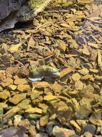 フトアゴヒゲトカゲの糞についてです。 現在、ヤングベビーサイズ、27センチ、60g のフトアゴヒゲトカゲを飼育しているのですが、毎日このような糞をしているのですが、健康なのか健康じゃない糞なのか教えていただきたいです。 初心者なのでよろしくお願いします!