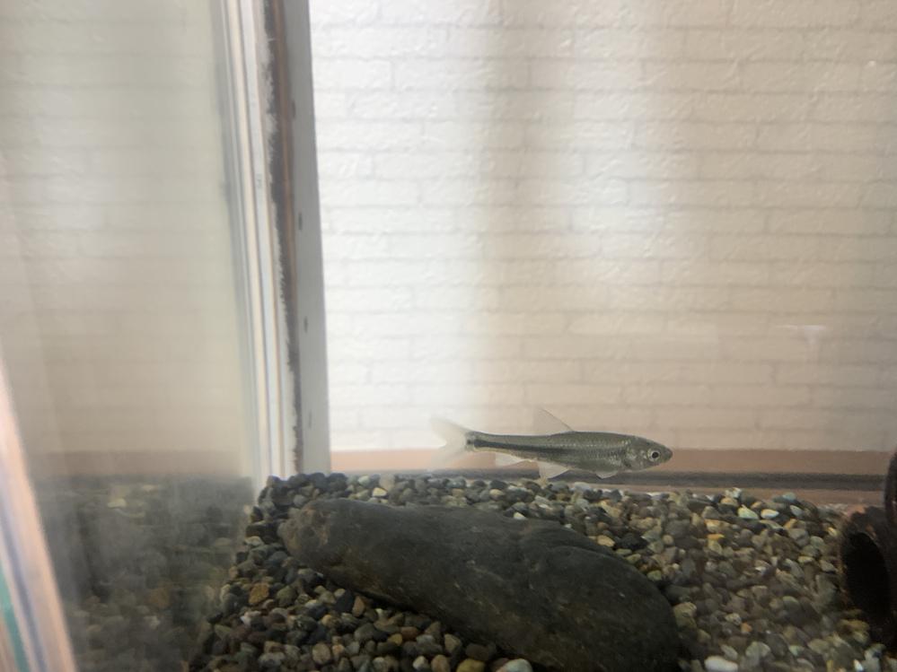 見えにくいですが、この魚は タモロコ、カワムツどちらでしょうか?
