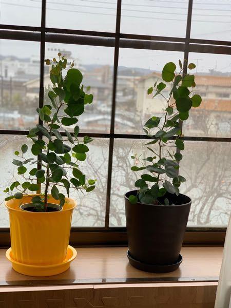 この観葉植物の写真を見てください。 黄色と茶色のプラ鉢が家にあります。 ポット入れてみました。 このプラ鉢の色と植物のグリーンは合っていますかね?